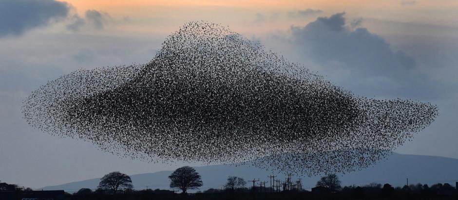 flocking birds slide 2